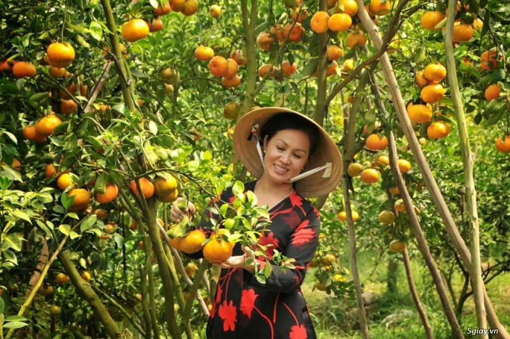 Vườn quýt Lai Vung Đồng Tháp