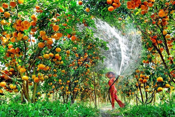 Vựa trái cây Lai Vung Đồng Tháp